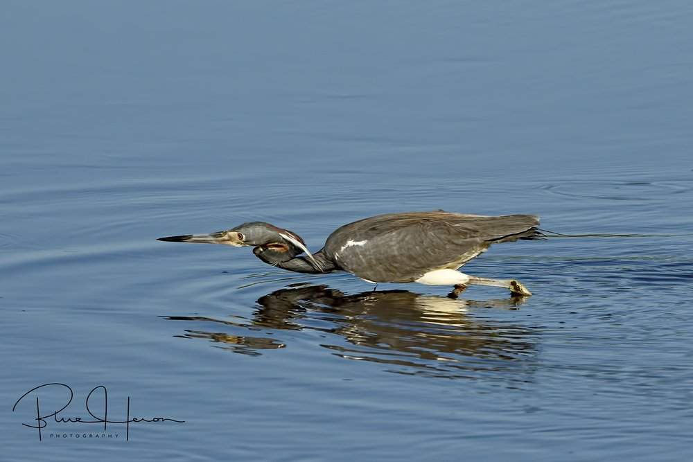 The local Tricolored Heron was not impressed with the Mockingbirds song..