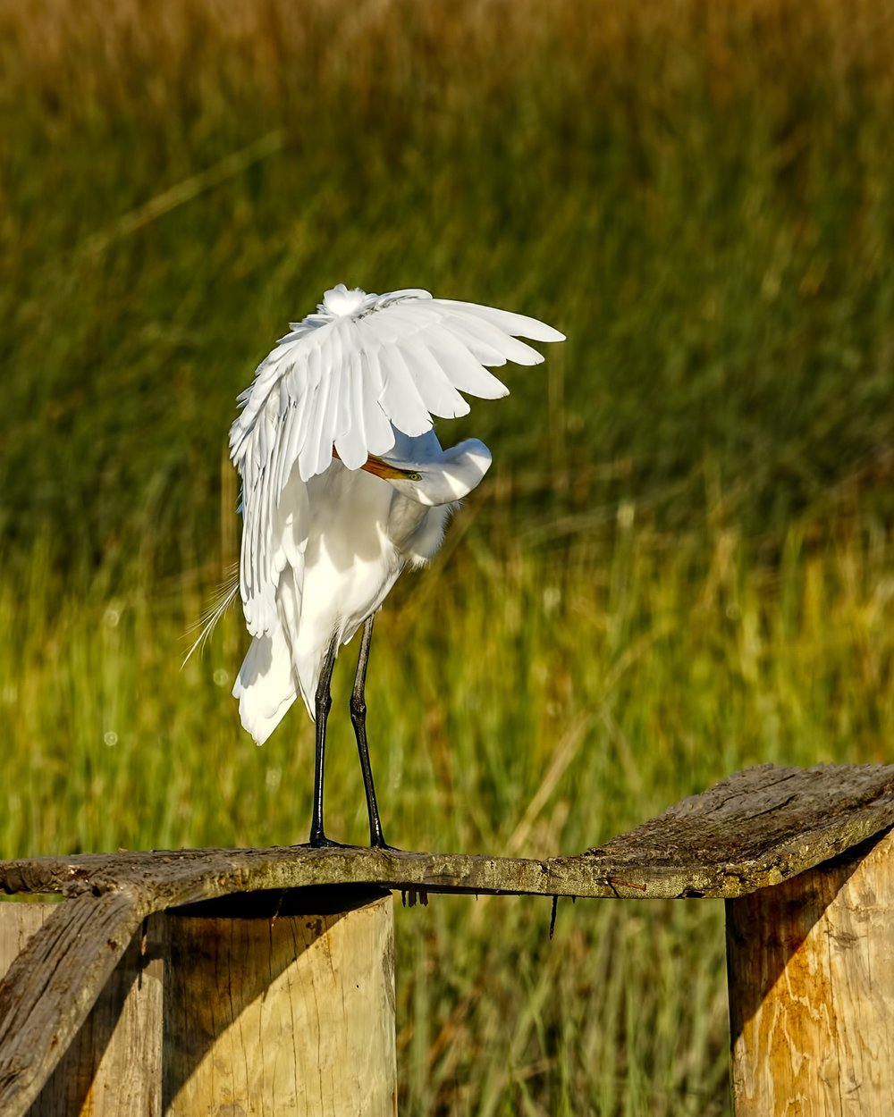 The Great Egret does an under wing pit check..