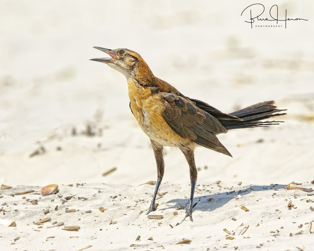 A female Boat-tailed Grackle tries to imitate the Big Mouths..hoping for a snack..