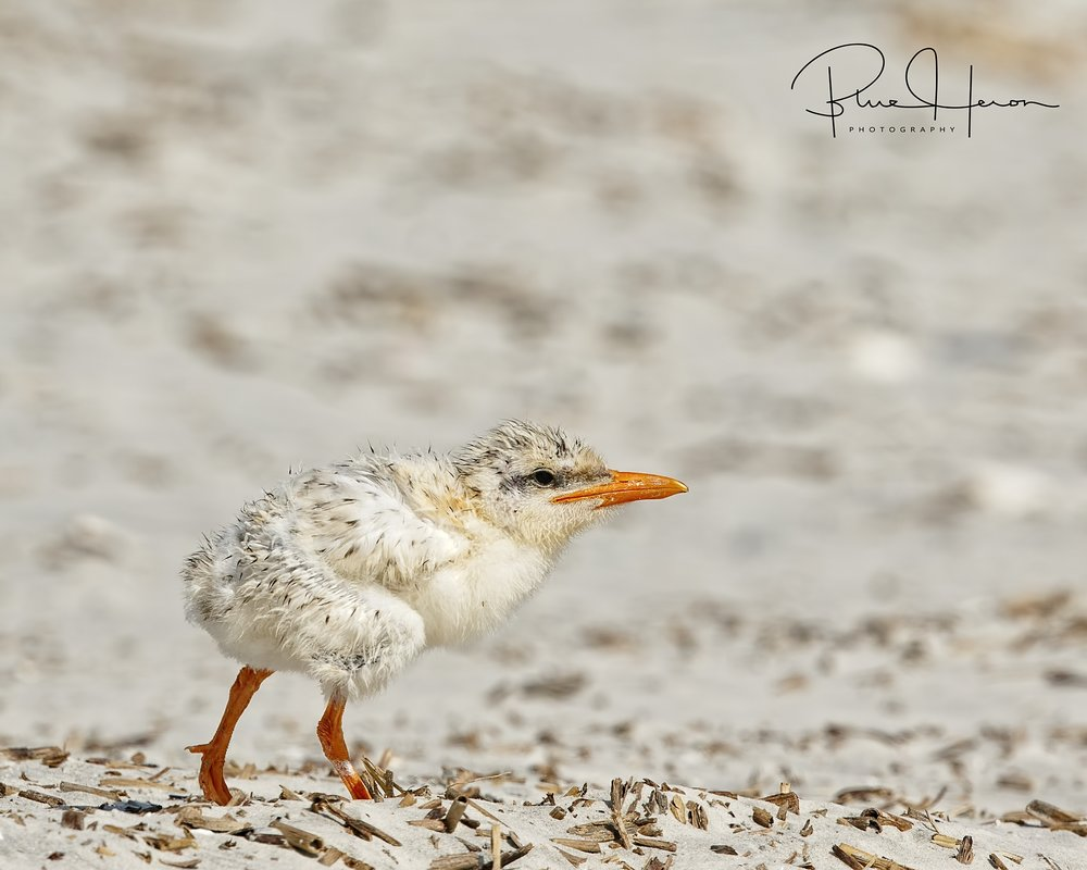 Royal Tern hatchling takes a cautions trip onto the beach.