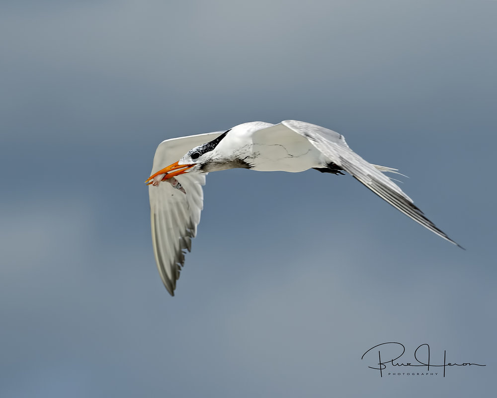 Calamari anyone? Royal Tern with squid ink all over its neck..