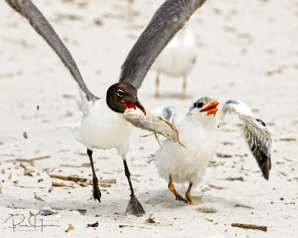 Out of the mouths of babes...Laughing Gulls will steal food food right out of the mouths of the chicks..