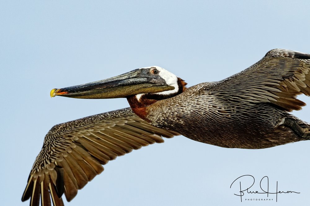 As I looked into the eyes of this Brown Pelican, it brought to mind the primal look of what prehistoric times may have been like when a Pterodactyl soared by.
