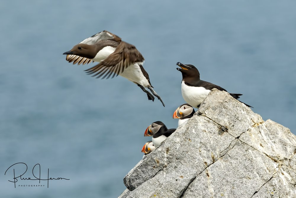 A Murre (taking flight), a Razorbill to the right and three Puffins all are diving seabirds called Alcids