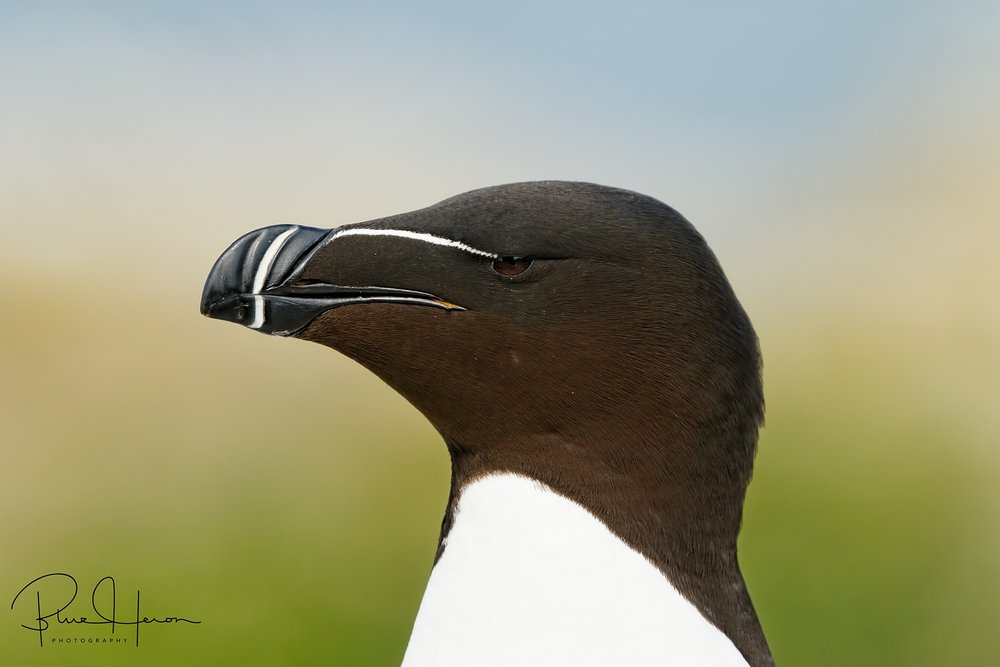 Razorbill Profile, note the beak and eye stripe and broad sharp bill.