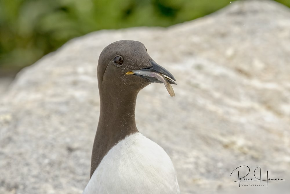 The Murre can dive to 300 feet but only returns with one fish at a time..