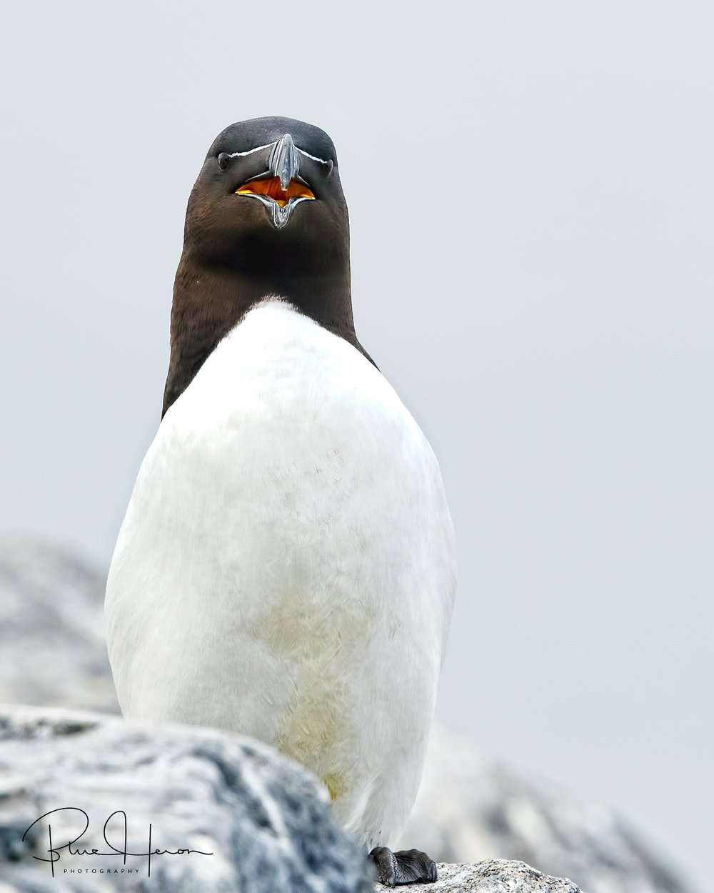 Now we know where they got the idea for Darth Vader's helmet..Razorbill laughing at us..