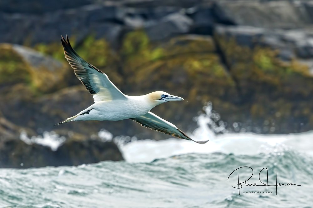 Northern Gannet, a first for me...six birds were trying to start a breeding colony on the island.