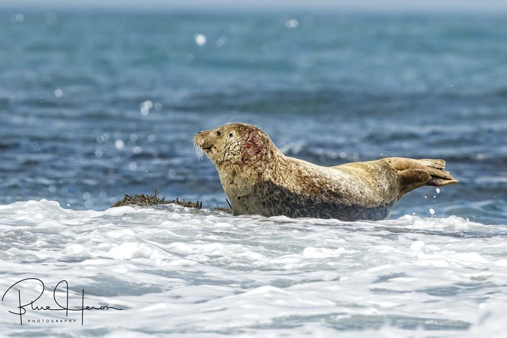 This is not a puffin...Harbor seal getting washed by a wave..