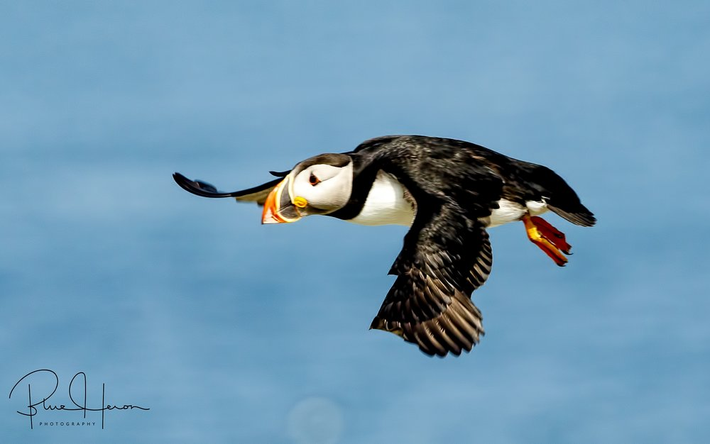 Puffin in flight..