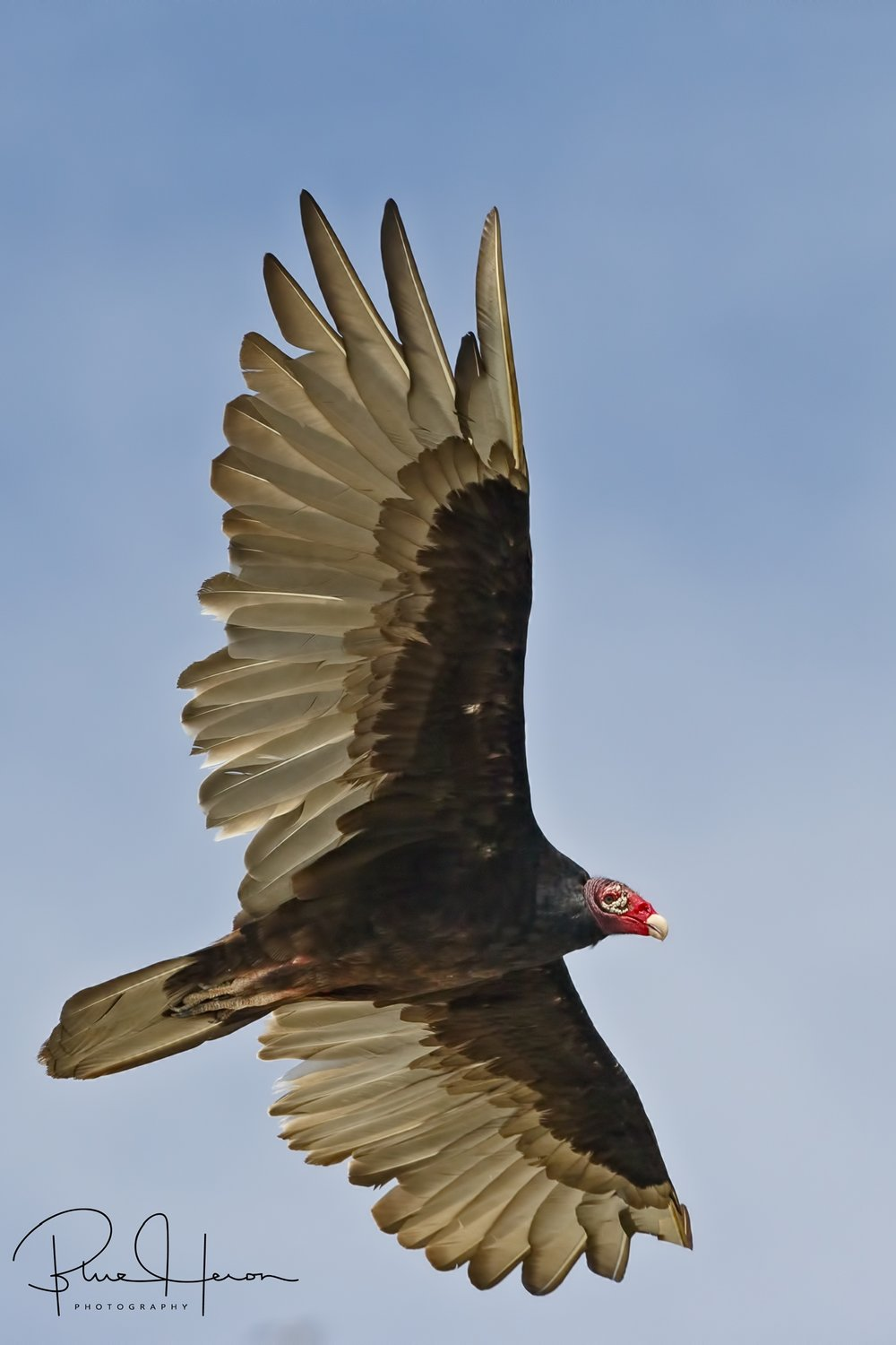 Mortality rates are high and the Turkey Vultures make regular visits to clean up the dead