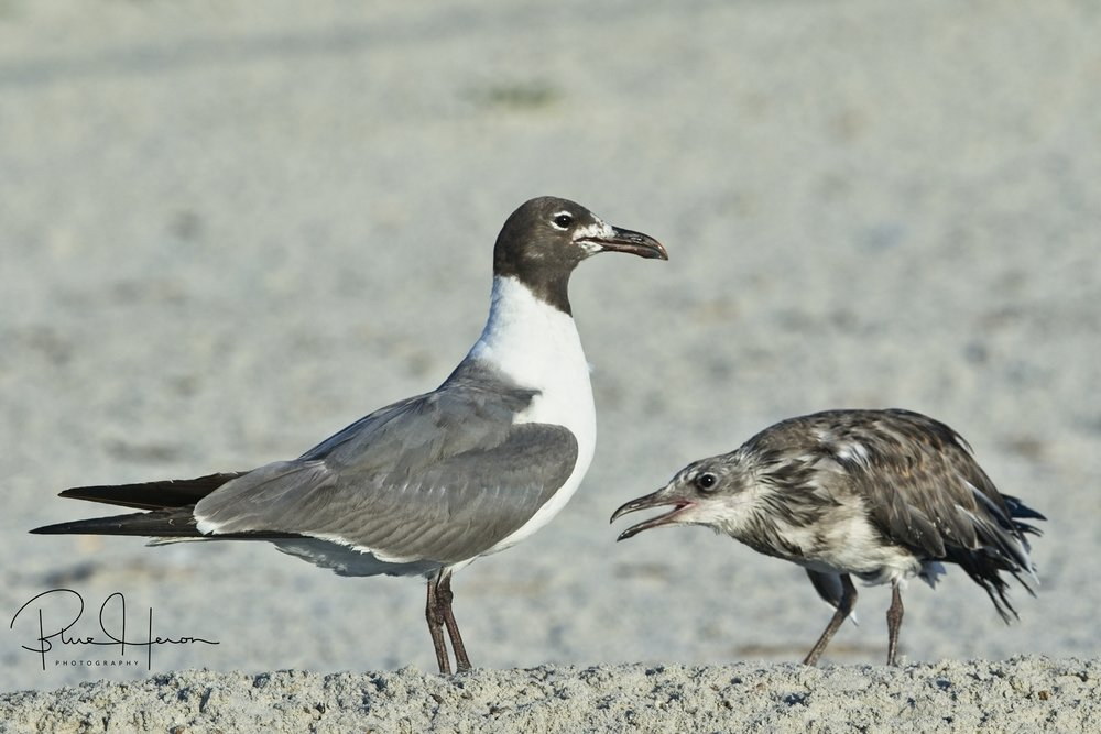 The Laughing Gull chicks seem to be hungry all the time..What do they do the adults do with all that stolen food I wonder?