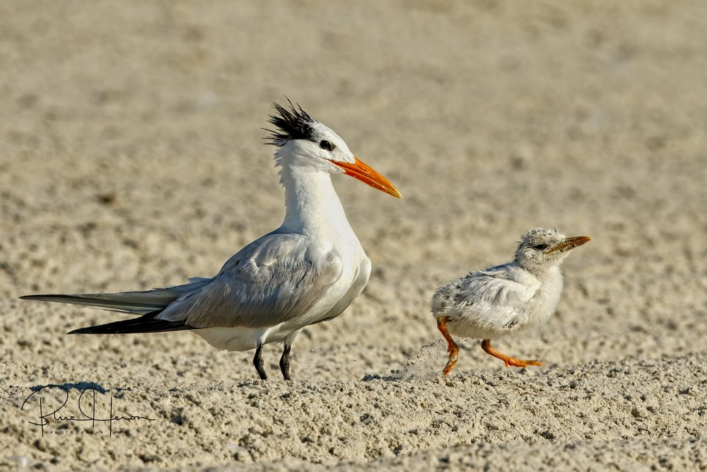 "This late Royal Tern hatchling scampers towards the surf zone to be with the ""big chicks"" too."