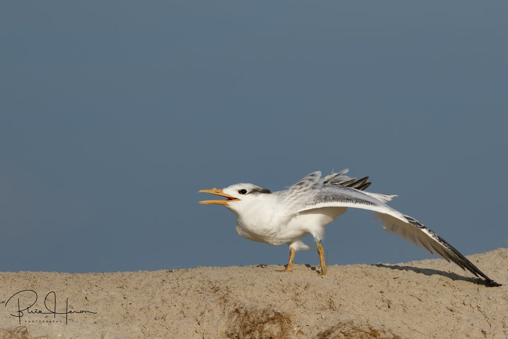 When I returned from my Maine trip I found the Royal Tern Chicks were fully feathered and beginning to fly.