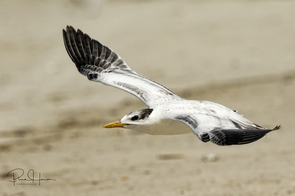 "It's ""Time to Fly"" for this young Tern...see ya next week.."