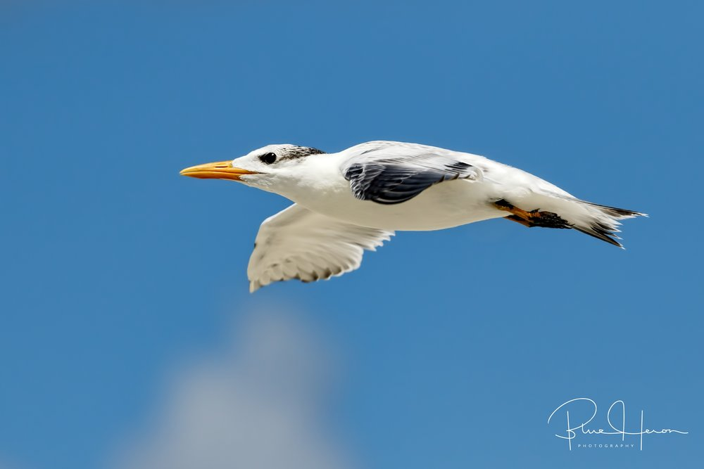 This fledgling Royal Tern is now flying to the surf zone for a meal ..