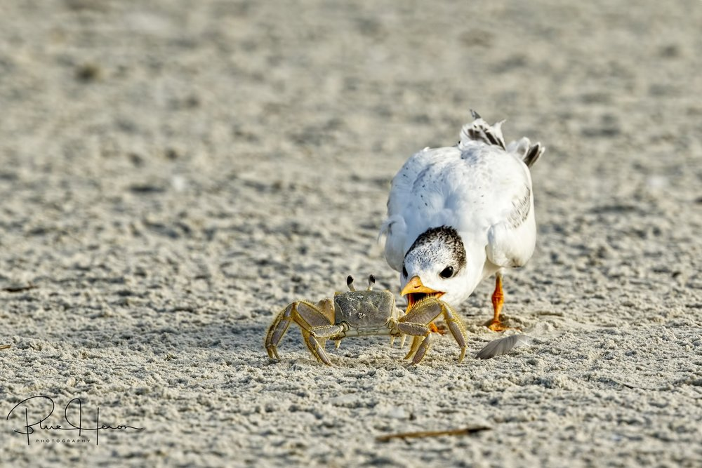 Crabhopper crossed the path of a Fledgling Royal Tern looking to make lunch out of the wary crab.
