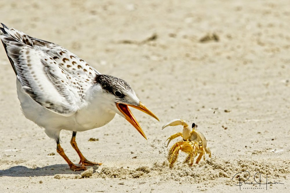 Trained in Crab Fu, Crabhopper immediately went into his fighting stance kicking sand in the Terns mouth instead..