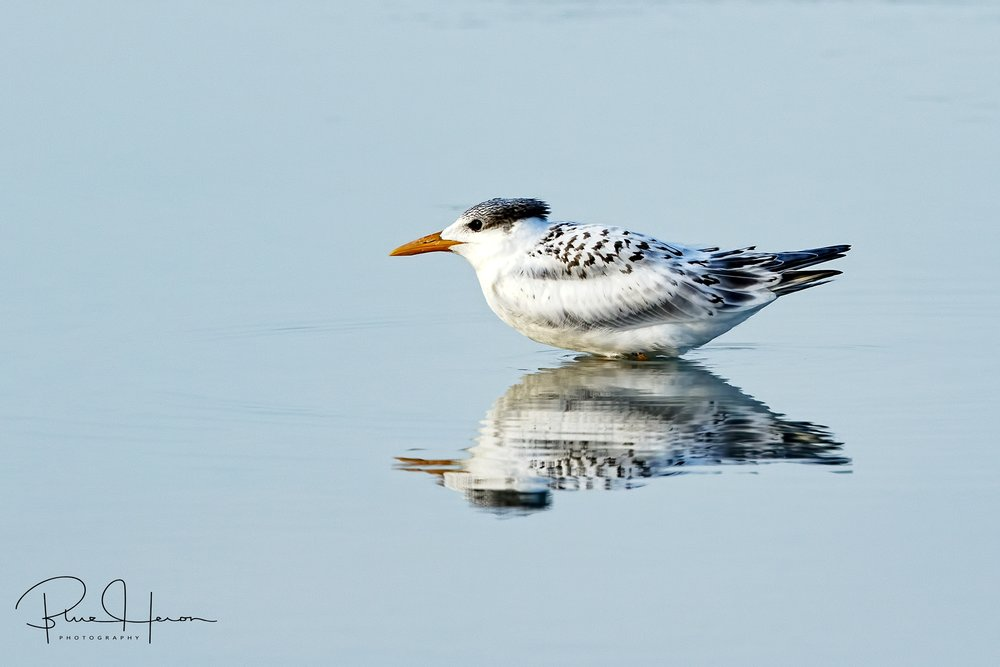 Royal Reflections..a Royal Tern chick has fully fledged and enjoys a morning dip in the tidal pool.