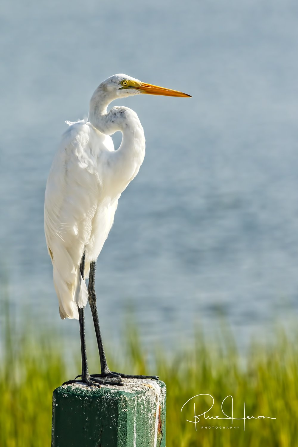 The dog days of August begin...this Great Egret stands as a Summer Sentinel..