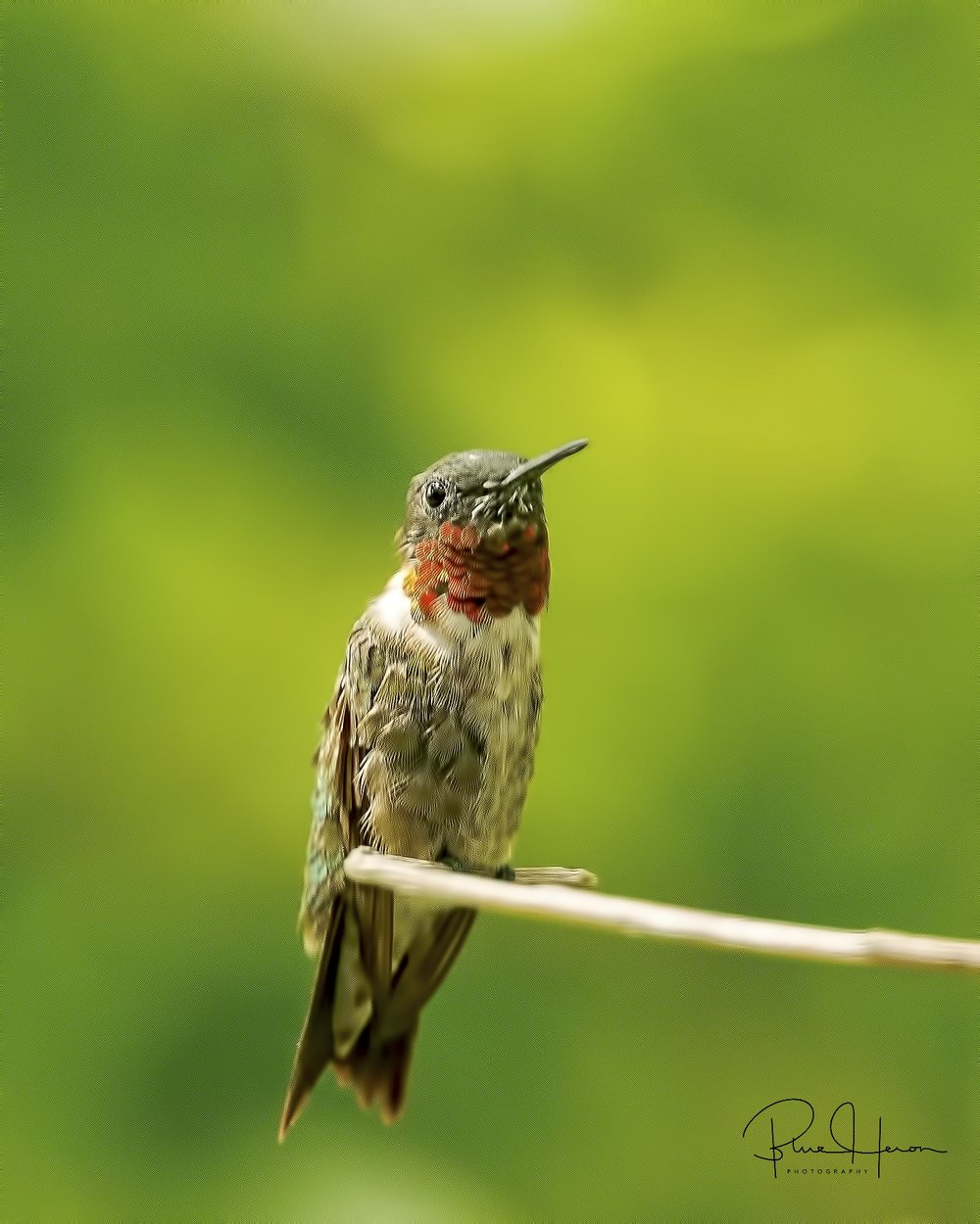 Ruby-throated Hummingbird..soon they will be heading south ...