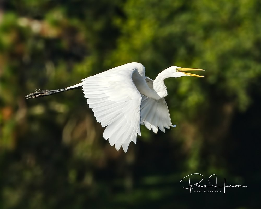 A Great Egret protests my photo attempts