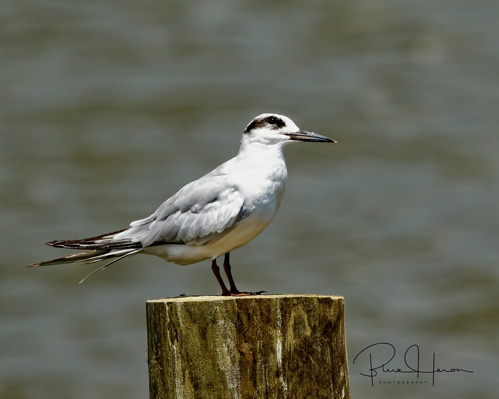 Forsters Tern posing for a photo..