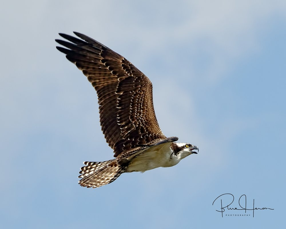 Osprey loudly protesting getting photographed