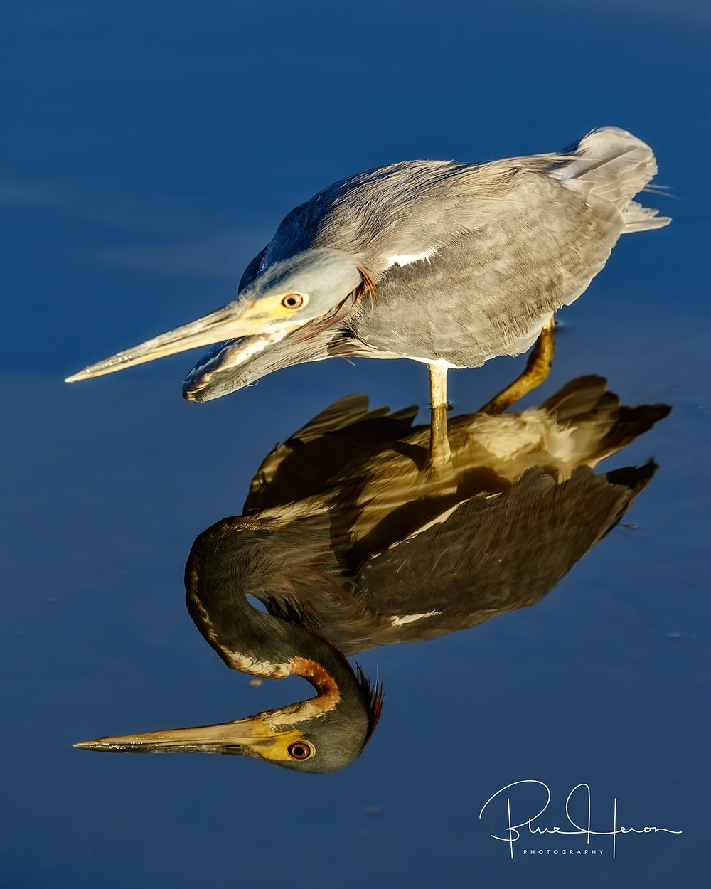 Double trouble,,,Tricolored Heron begins its morning hunt in the outgoing tidal stream