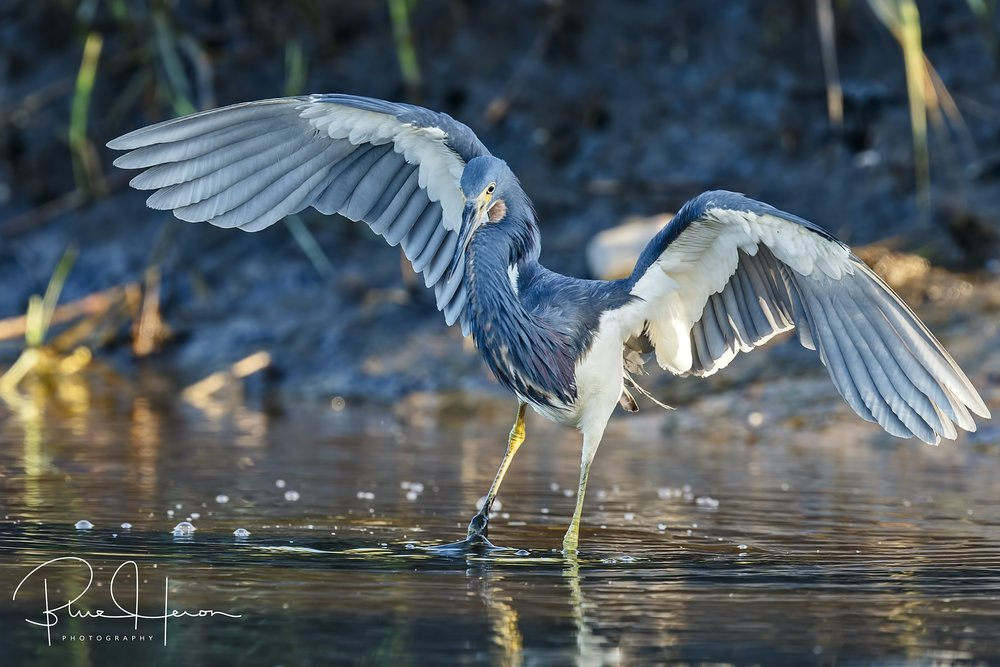 The Tricolored Heron danced in and out of the shadows on its morning hunt..