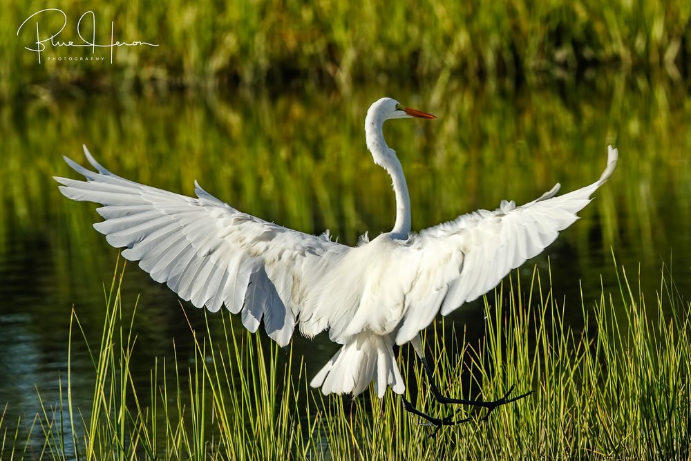 Found in Asia, Africa, the Americas, and southern Europe, these large egrets with wingspans of six feet are making a strong comeback after being hunted primarily for their feathers.