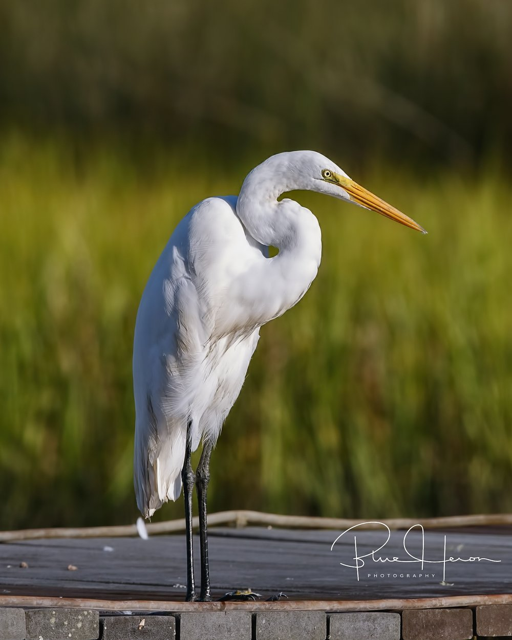 A yellow beak and black feet distinguish the egret from its smaller cousin, the snowy egret.