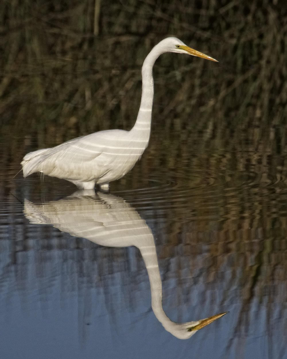 This Great Egret sits in its favorite fishing hole and waits for the food to come by