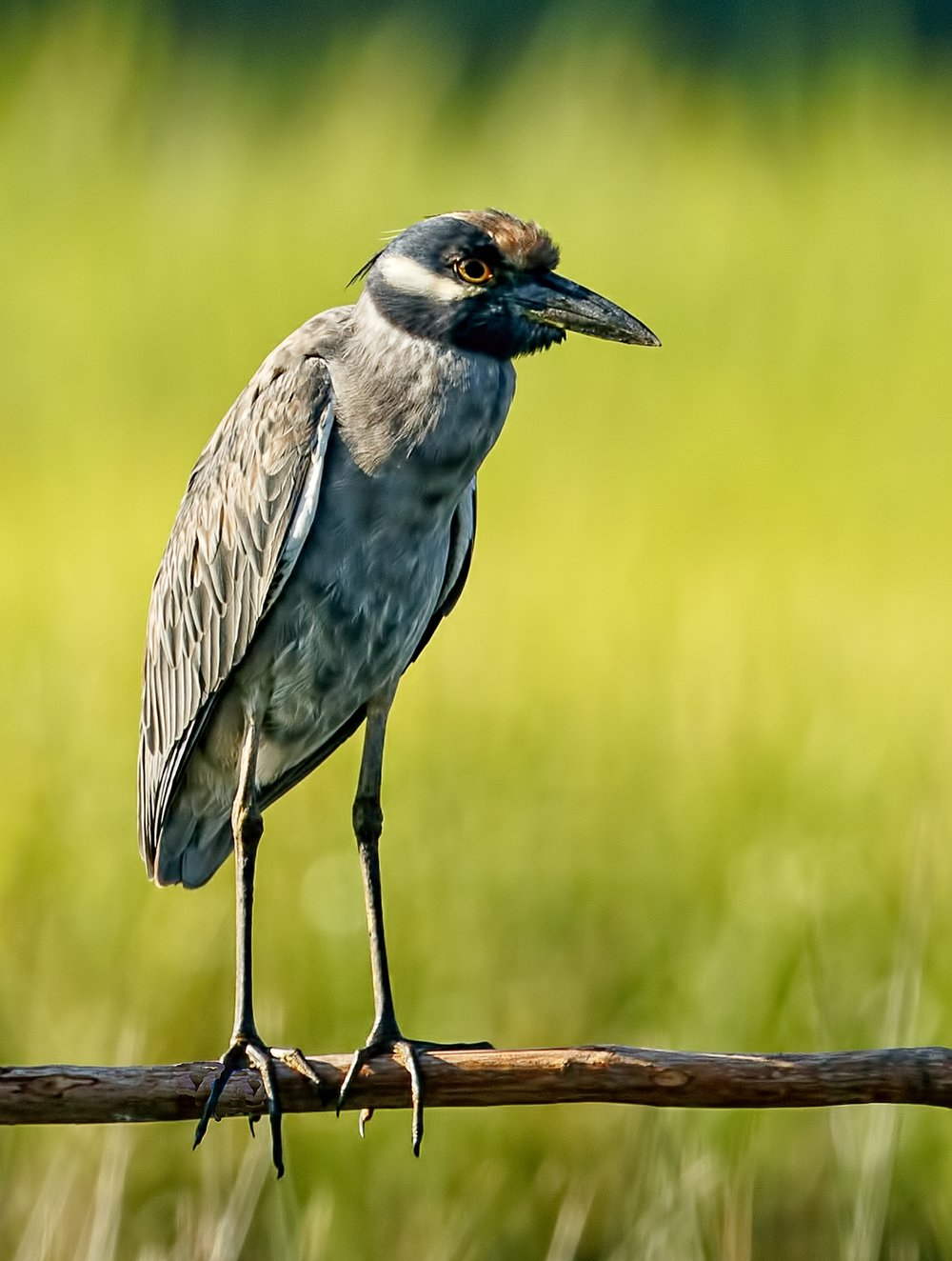 George Sr, the patriarch of the Yellow-Crowned Night Heron family poses on a new perch my neighbor set up for me.
