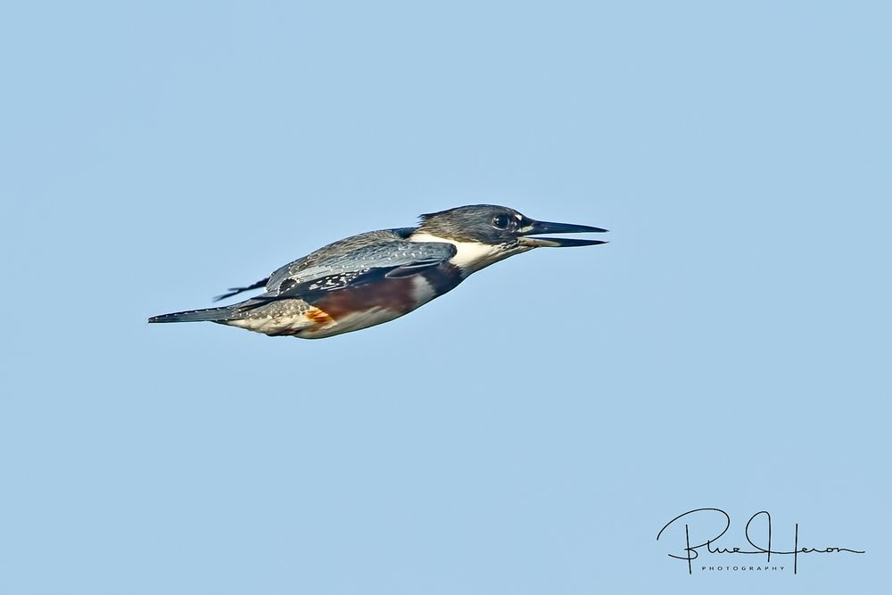 "The brown belly feathers or ""bra"" differentiate the female from the male Belted Kingfisher."
