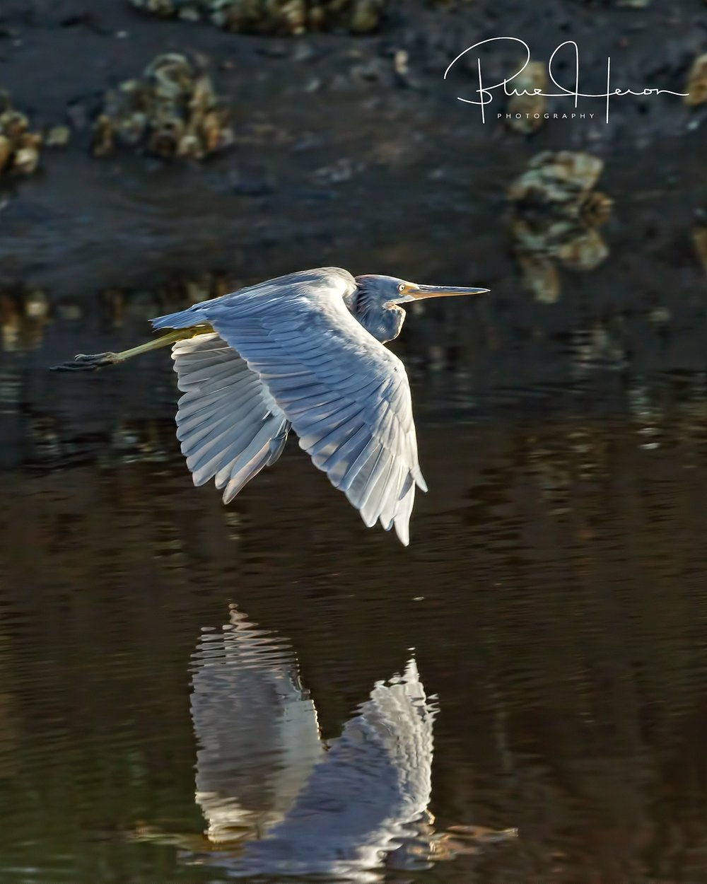 Fleeting capture of a Tricolored Heron leaves me blue..