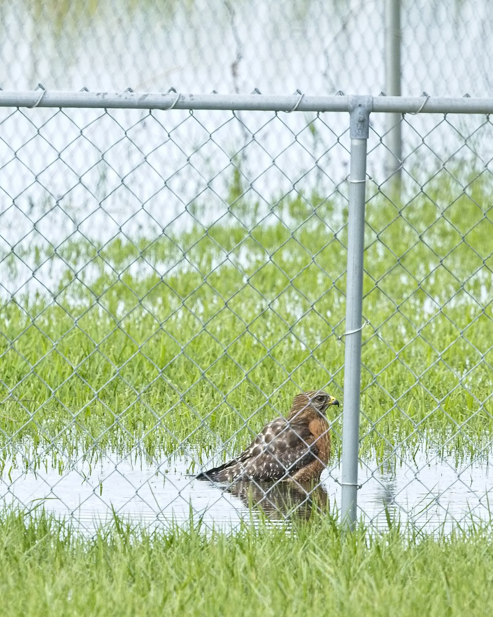 Sheba, the Red-shouldered Hawk takes a morning bath..