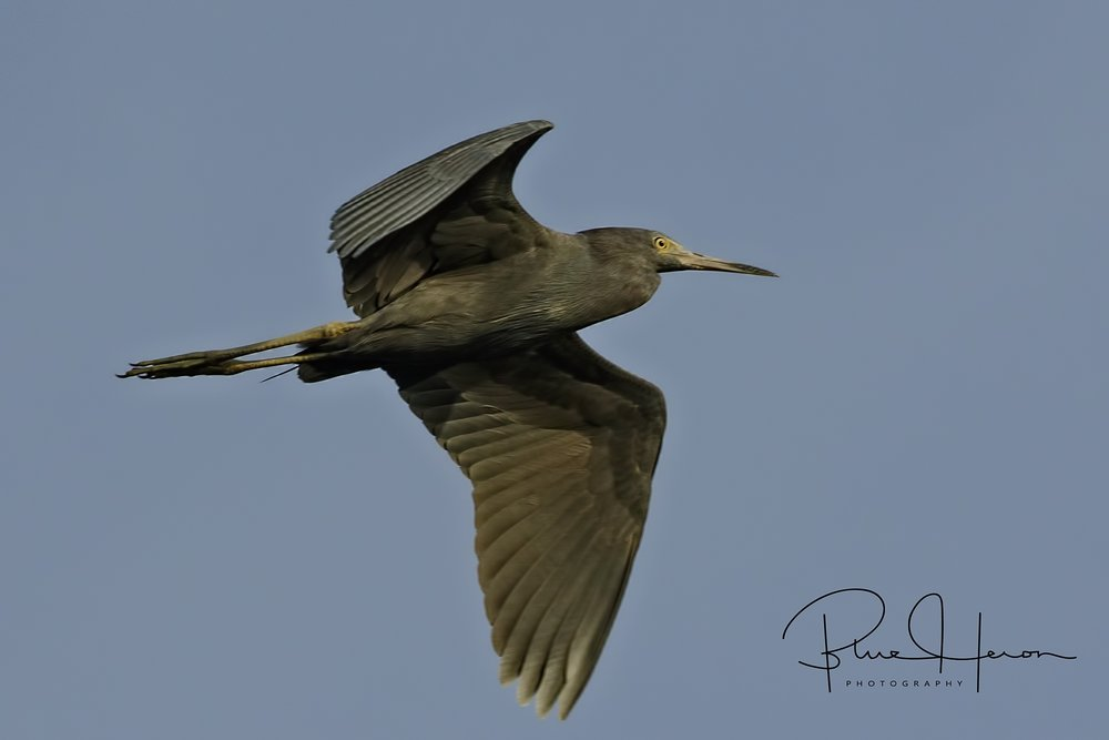 Adult Little Blue Heron flies overhead