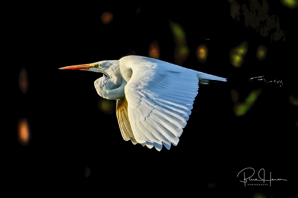 White birds on a dark background make excellent low key opportunities..