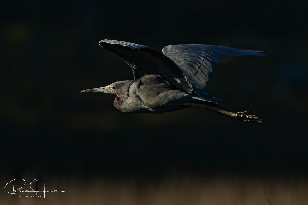With low angle early morning light even this dark Little Blue Heron stands out against the background