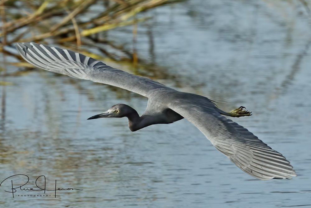 This Little Blue Heron glides over the Broward..