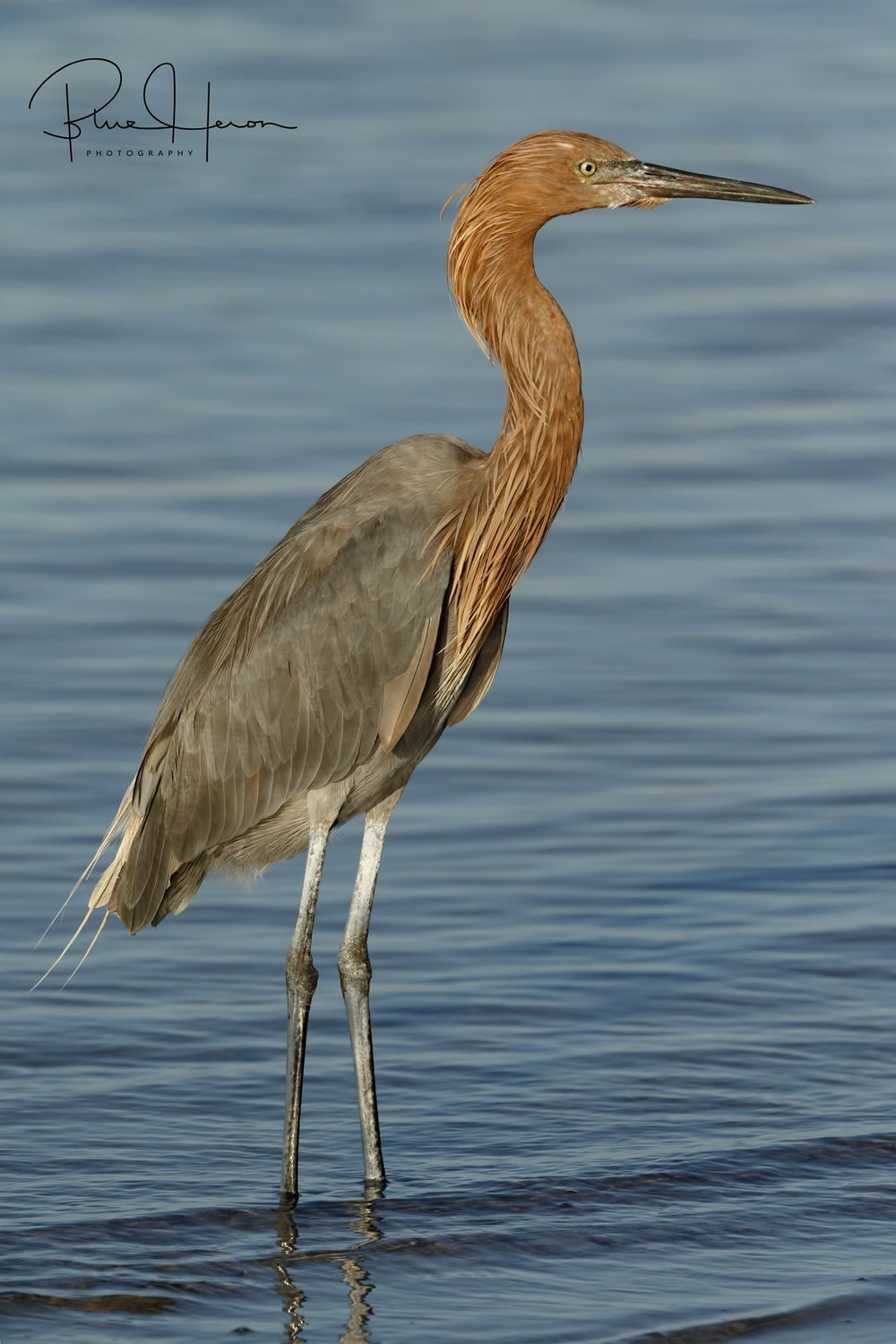 Big Red, the Reddish Egret is an early riser who loves to feed at the changing tides..