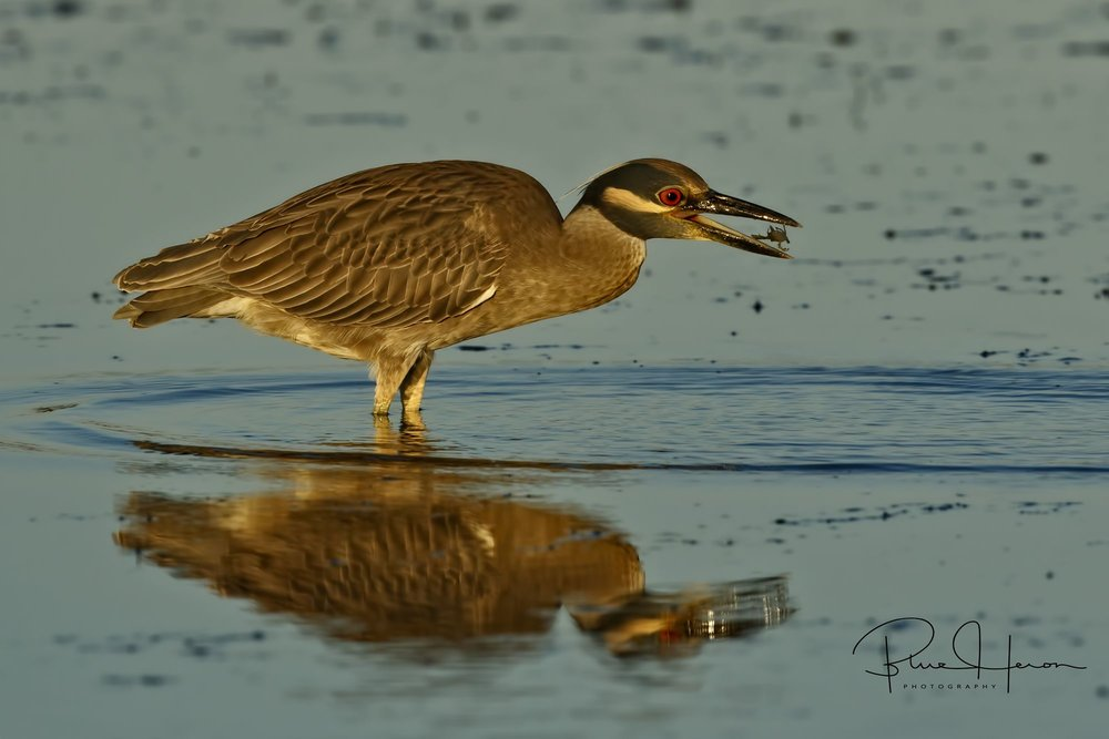 Yellow-crowned Night Heron with crab snack..