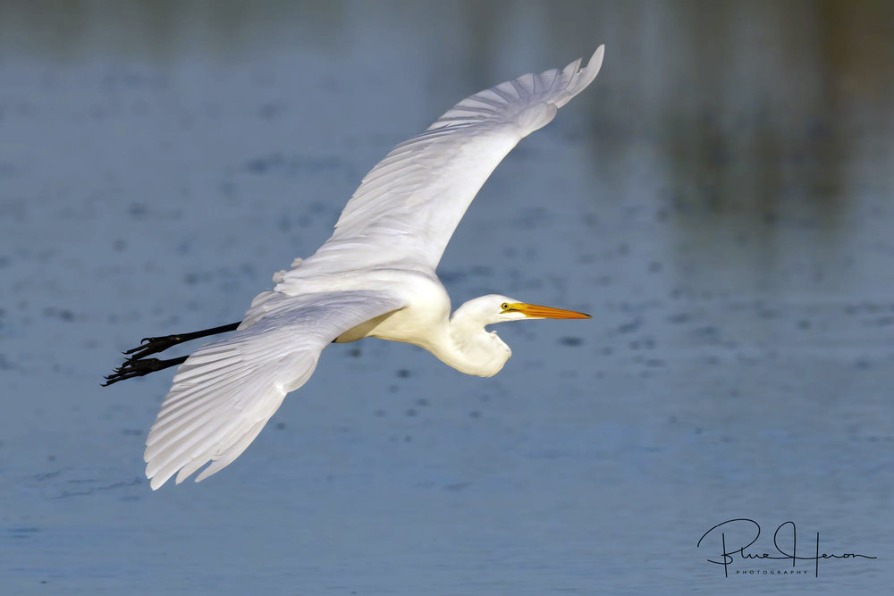 Great Egret flying in for breakfast..