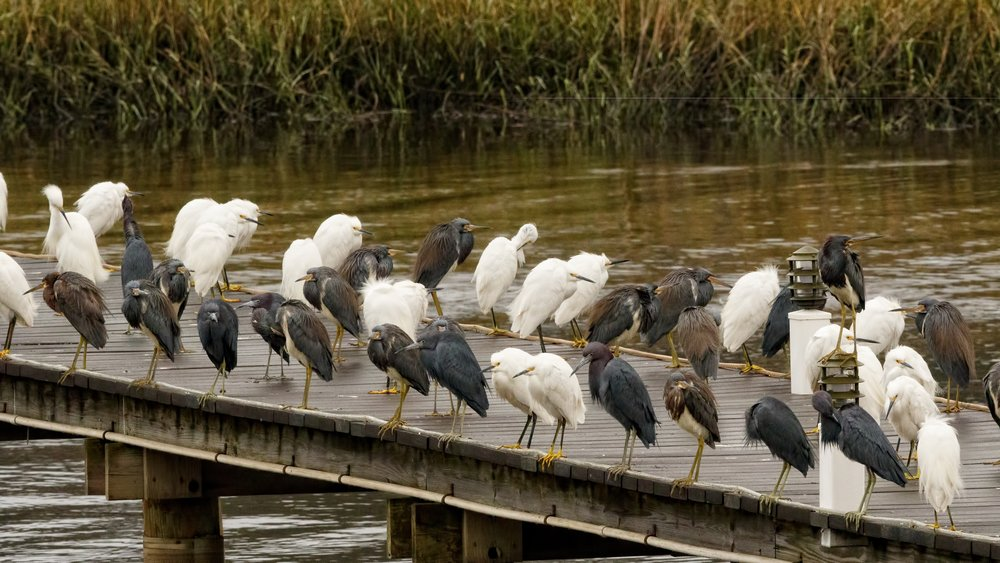 The Birds of the Broward gather on the dock to see the swamp drained..