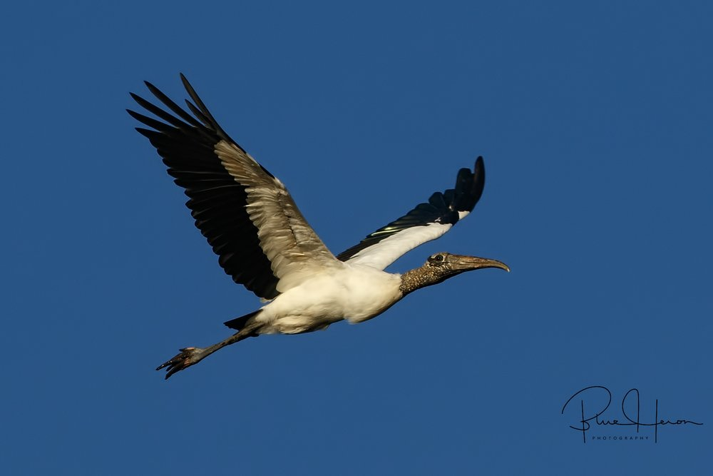 A Wood Stork brings in the 2018 baby..hope it is not as ugly as the stork :)
