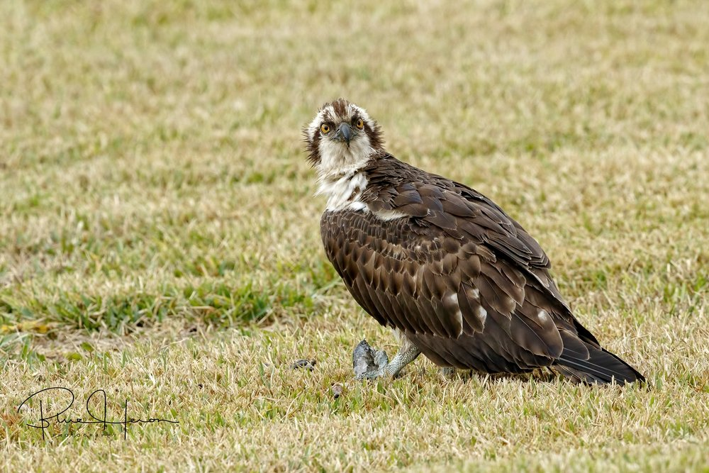 An Osprey landed in the yard with a fish snack..  The cat spots the bird and gets a look..back off!