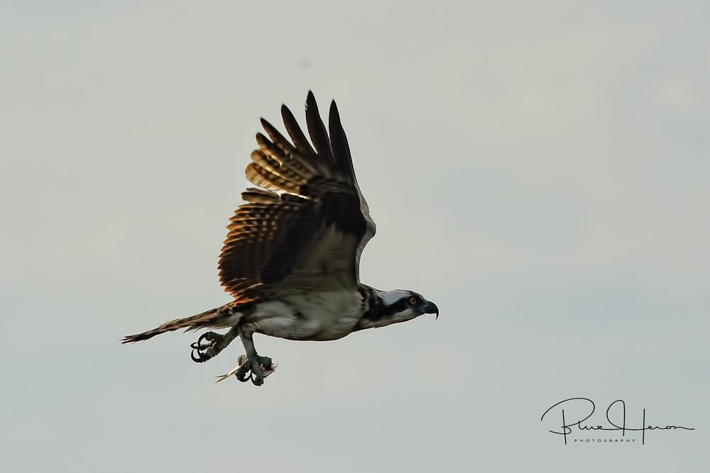 The Osprey flies off to enjoy its snack in peace..