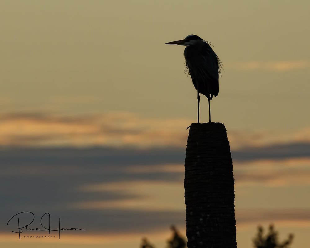 A cold and lone Great Blue Heron stands morning vigil on the wetlands
