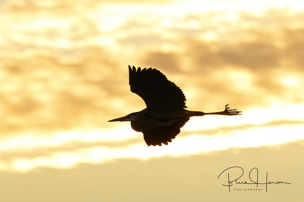 "After being relieved of "" the watch"", a Great Blue Heron silhouettes the early morning light"